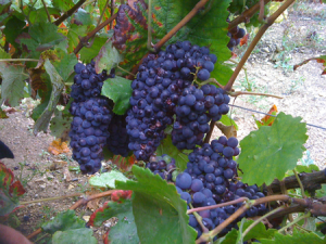 Reims Grapes